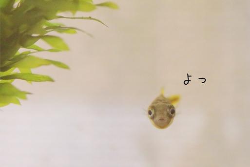 【魚】悪さして隔離されたフグ君。
