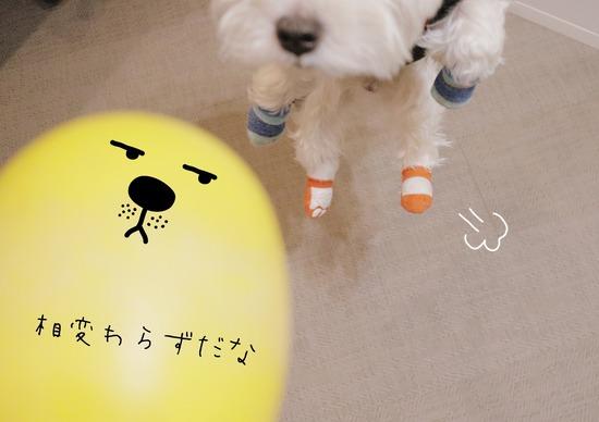 【ウエスティ】退屈だから、黄色い君に遊んでもらったよ。