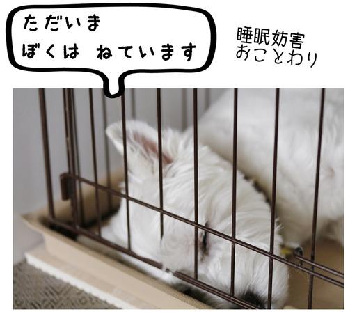 【ウエスティ】狸寝入り をしちゃう理由
