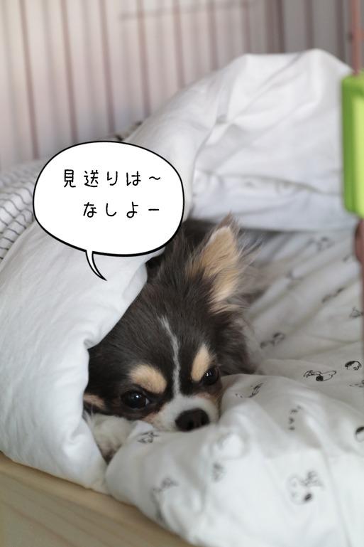 【チワワ】見送らない犬