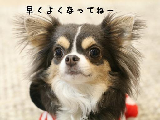 【チワワ】まりちゃんという犬