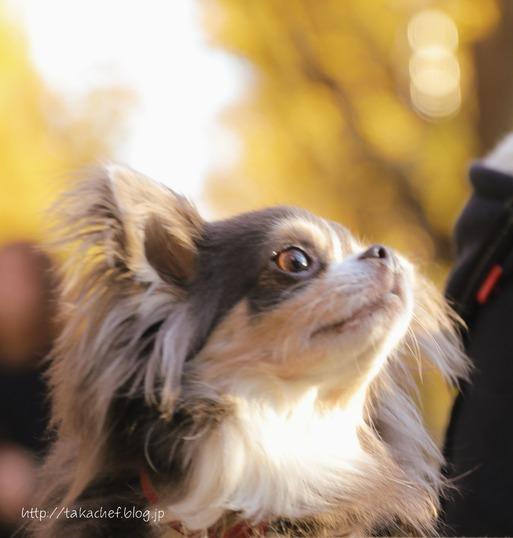 【犬】神宮外苑のいちょう並木って素敵だよね。