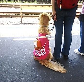 ■盲導犬のしっぽ