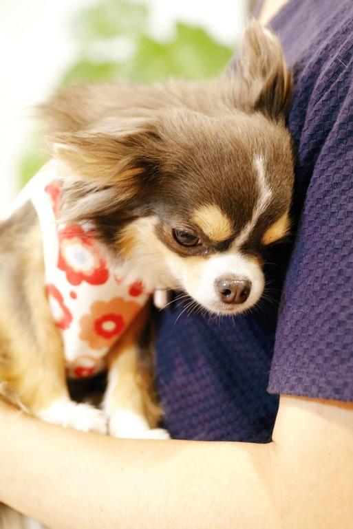 【チワワ】媚を売る犬