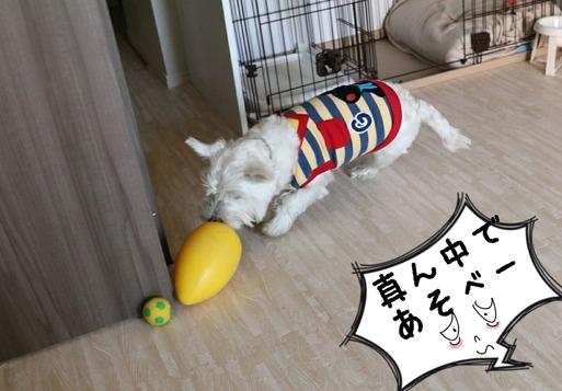 【犬】真ん中でよろしく。 と、ウエスティ飼いの考え