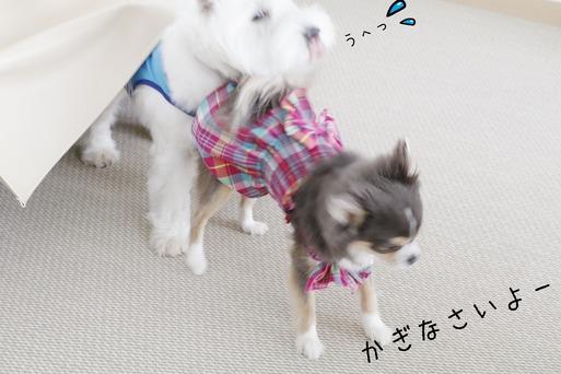 【チワワ&ウエスティ】朝の日課