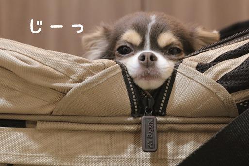 【チワワ】弟の散歩の準備を待つチワワ