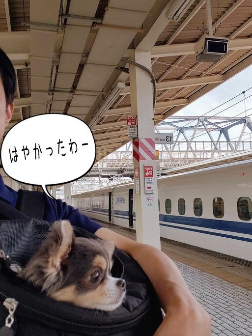 【チワワ】はじめての新幹線