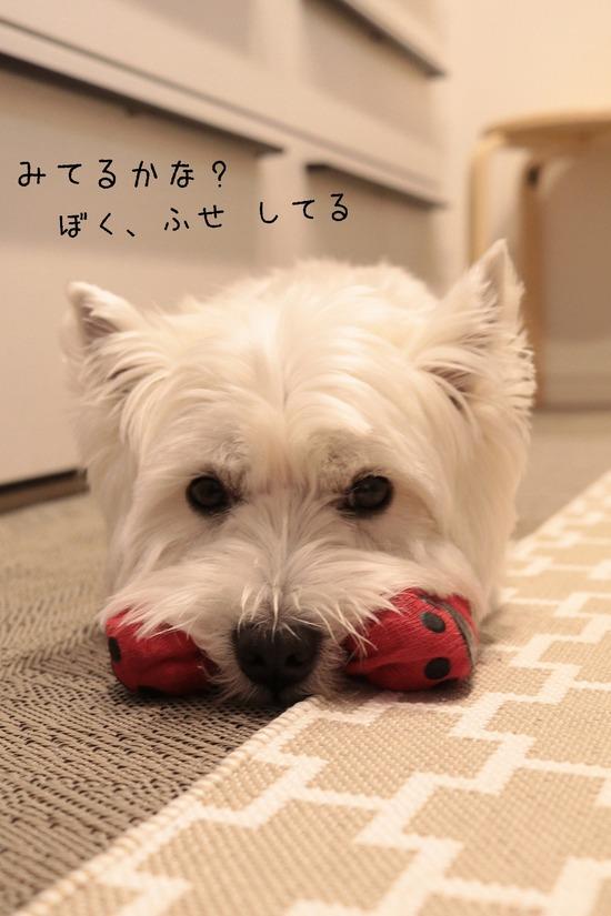 【ウエスティ&チワワ】飼い主、犬にあやつられる。