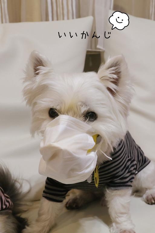 【ウエスティ】新型肺炎が心配なもんで・・・