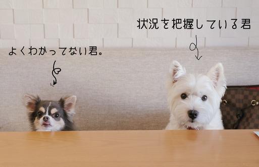 【チワワ&ウエスティ】まりちゃんとゆきち君。