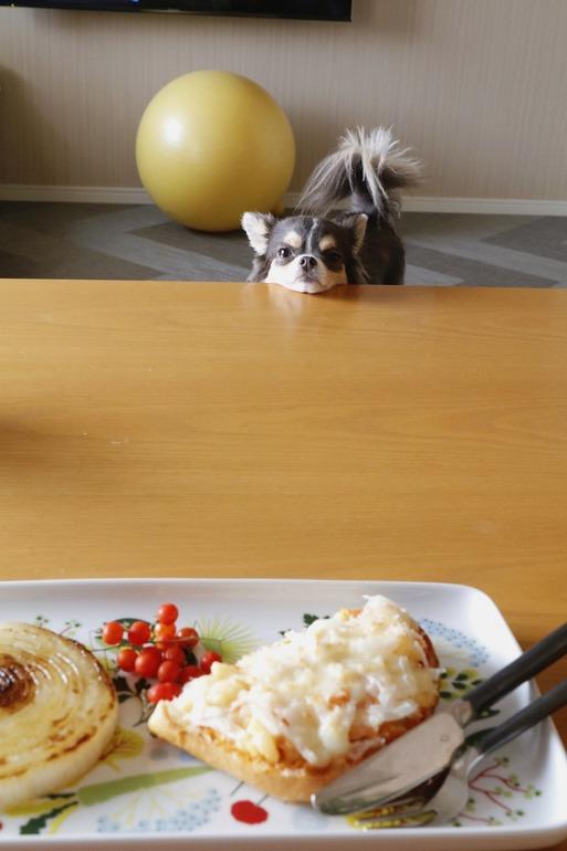 【チワワ】食べづらいぞ。