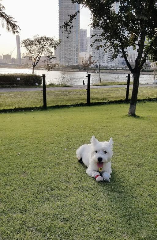 【ウエスティ】飼い主が明けの日