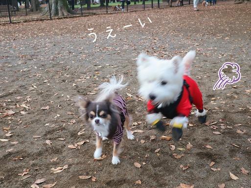 【チワワ&ウエスティ】まりちゃんとゆきち君。ドッグランへ行く。