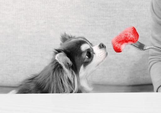 【チワワ&ウエスティ】大きない苺を食す!?