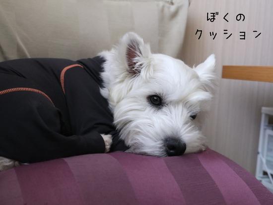 【犬】いつの間にか、ゆきちのクッションに!