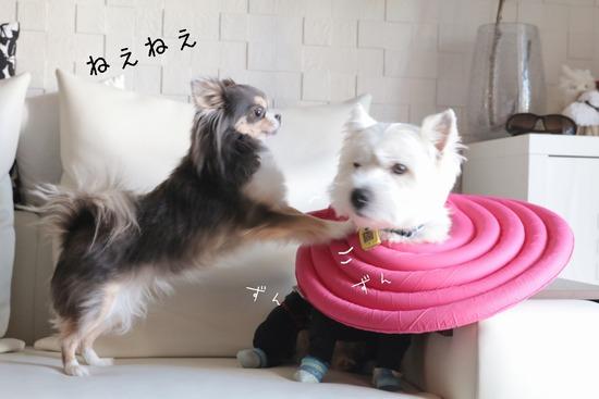 【チワワ&ウエスティ】おっはよ~