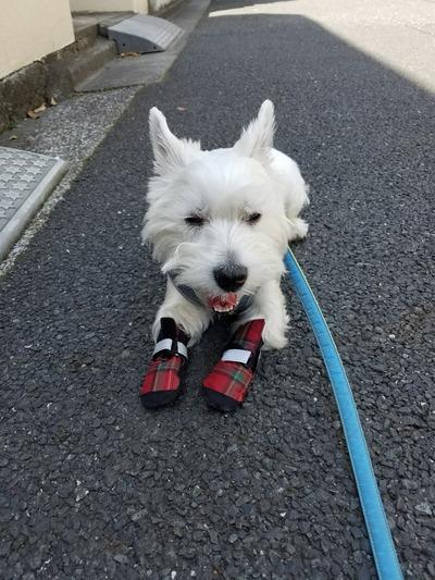 ウエスティ 犬靴