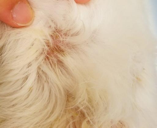犬 皮膚病 アトピー 膿皮症
