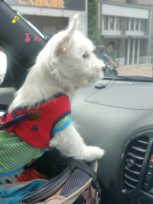 チビランカ、車に乗る