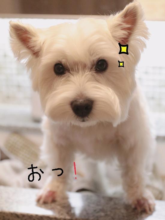 【犬】白犬の主張