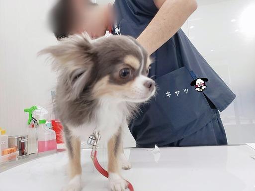 【チワワ】まりちゃん病院に行く。