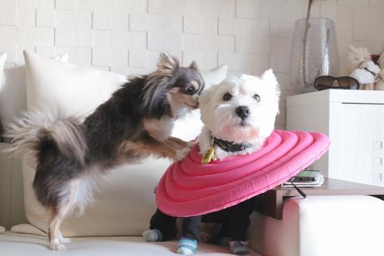 【犬動画】カーテンにはさまっちゃった編