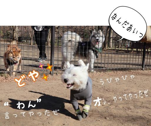 【ウエスティ】ドッグランラン♪