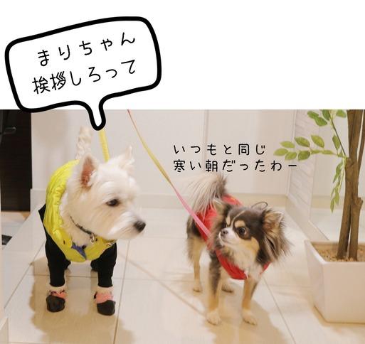 【チワワ&ウエスティ】初さんぽ