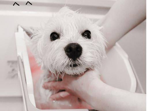 【ウエスティ】続・浴槽物語