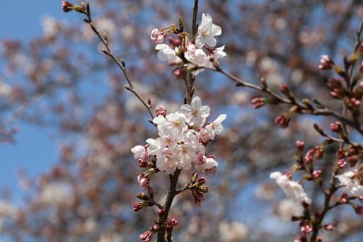 今日も桜を確認しにいく。