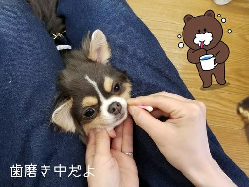 【チワワ】歯磨き