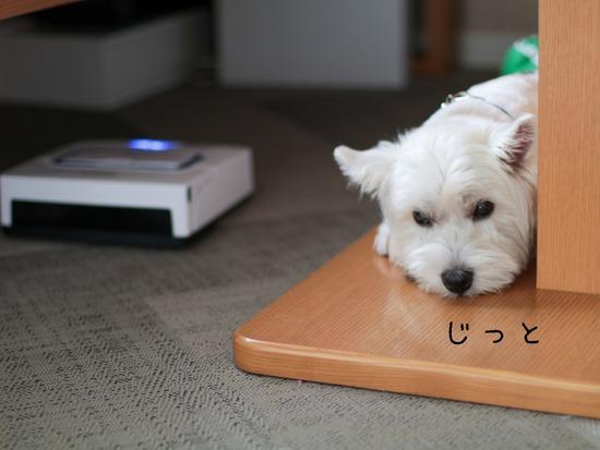 【ウエスティ】床拭きロボットに、クマが現れた時の対処方を応用する白犬