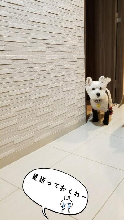 【ウエスティ】脱げない靴下を履かせた結果・・・。犬じゃなくなちゃったわ。