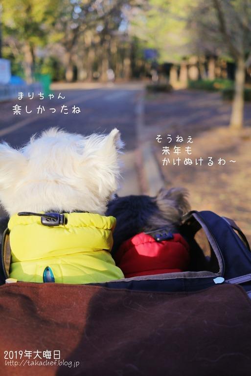 【ウエスティ&チワワ】走り納め
