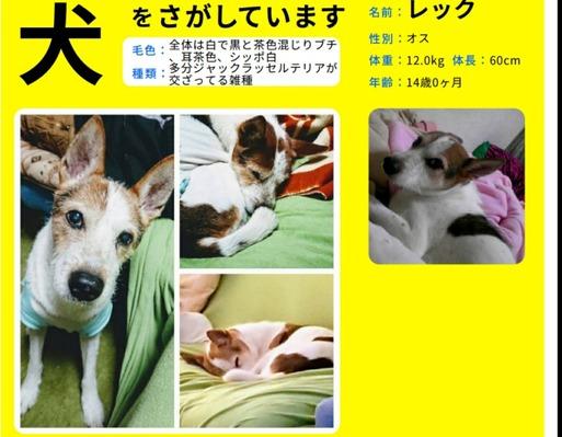 【拡散希望】迷子犬 ジャックラクセルミックス 千葉県から逃走