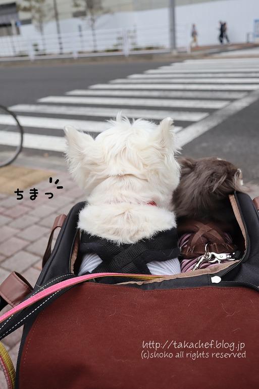 【チワワ&ウエスティ】自転車奮闘記④ ~いよいよ実車!!~