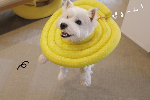 【ウエスティ】黄色い君、つかまえるぞー