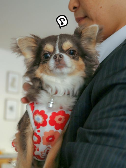 【チワワ&ウエスティ】忙しい飼い主