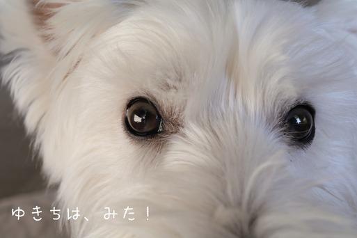 【チワワ&ウエスティ】飼い主のダイエットに協力する飼い犬