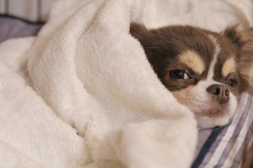 【チワワ】あたらしい寝床がほしいアピールをするチワワ