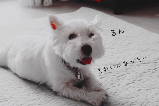 【ウエスティ】日課