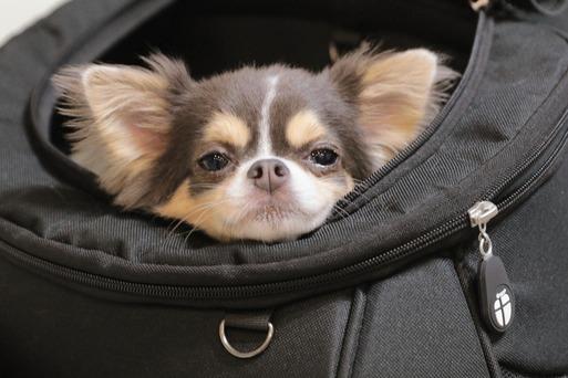 【チワワ】でかけたい犬 その③ ~新幹線ででかけた絆は強い。編~