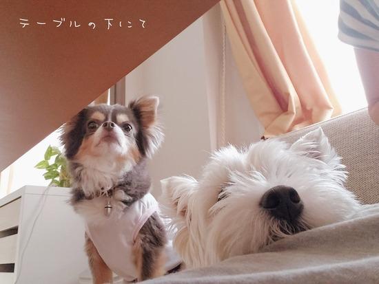 【ウエスティとチワワ】猛アピール