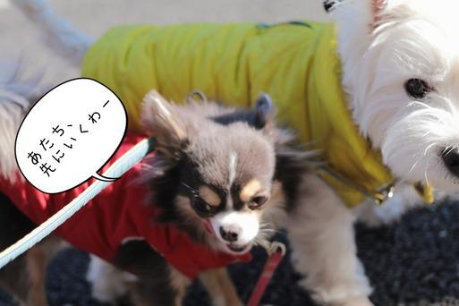 【チワワ&ウエスティ】お散歩の意外な出会い