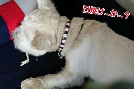 いつの間にかの白い犬