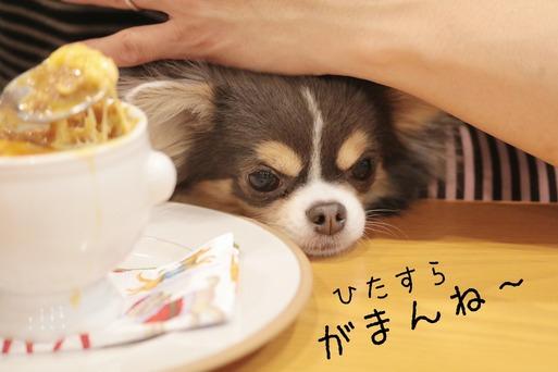 【チワワ】オニオングラタンスープが食べてみたいチワワ