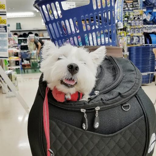 【ウエスティ】ホームセンターで、ツボに入ってじっとしている犬