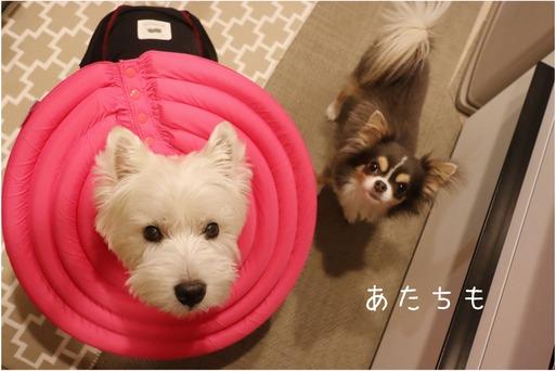 【チワワ】症状と一致しない犬の行動にに混乱する人間看護師