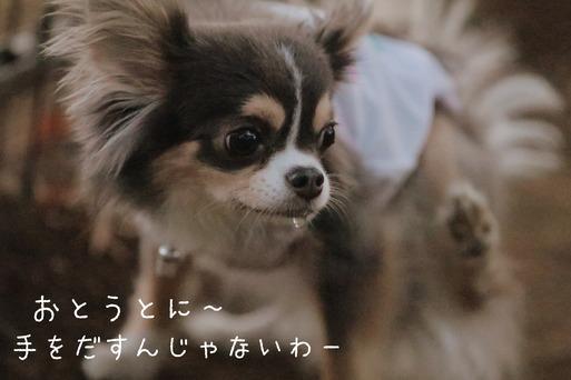 【チワワ&ウエスティ】まりちゃんとゆきち君。~弟をまもるちっちゃい姉さん編~